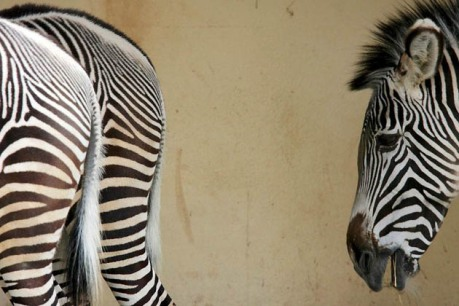 GERMANY ZEBRAS