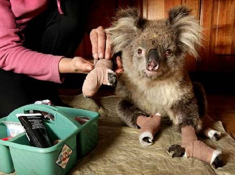koalavictoriafiresheraldsun