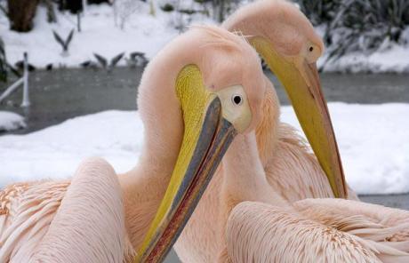 pelicansflamingoeslondonzooepa