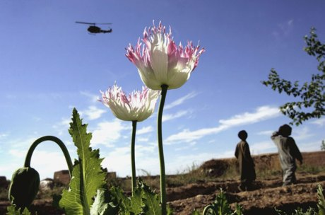 opiumpoppieshelmanddyncorp