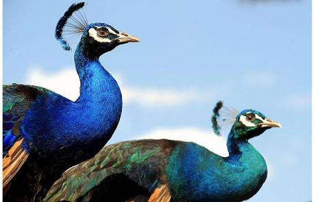 Peacocks are displayed for sale on a street in Kabul Picture: AFP/GETTY